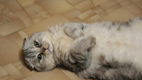 The beautiful scottish fold cat Live Action