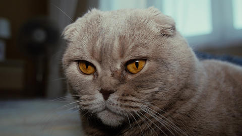 Scottish fold grey cat lies on a bed Footage