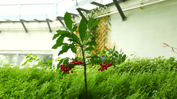 Tiny tree with red berries, on green grass Footage