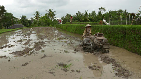 Balinese plougher prepare flooded rice field using tractor with rotary tiller Live Action