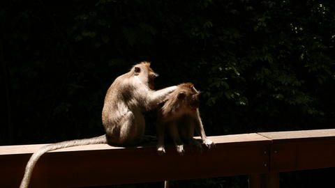 Adult monkey grooming juvenile, sitting at bright sunlight against black Live Action
