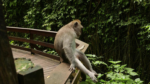 Monkey Sitting On Railing With Legs Dangling, Relaxed Scratch Himself, Closeup stock footage