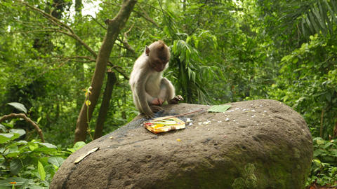 Juvenile macaque eat crumbs from large stone near Canang sari with incense stick Live Action