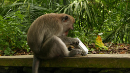 Macaque slowly investigate used spray can, side closeup view Footage