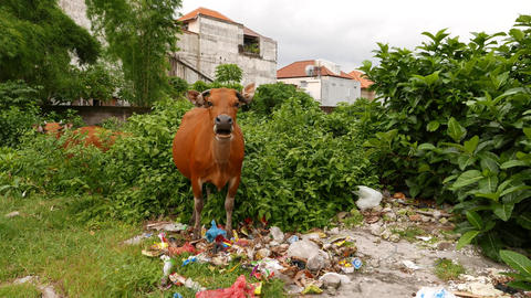 Red cow eating from food trash, waste ground at village, green bush on back Footage