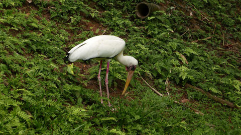 Great egret searches for food on green hillside, dig ground with long bill Footage