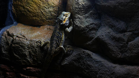 Agamidae, iguanian lizards, dragon, close up view Live Action