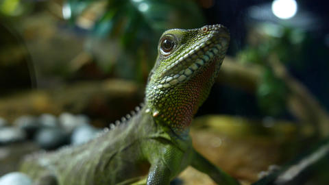 Live water agama close up, Chinese water dragon Live Action
