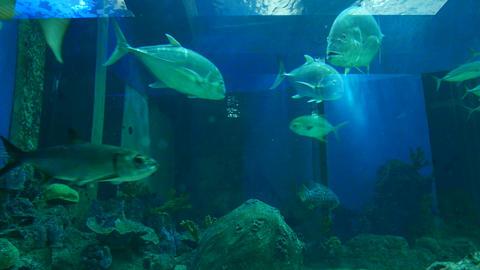 Many tuna fish in aquamarine water, zoo aquarium Footage