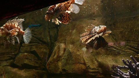 Lionfish in aquarium, bright vivid venomous animal, beautiful view Footage