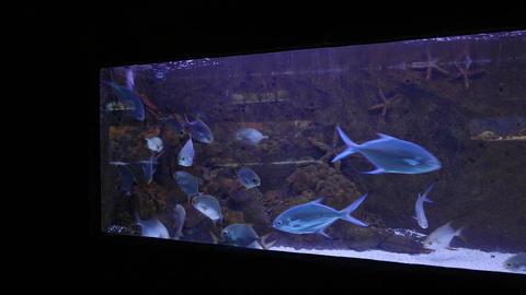 Blue trevally shoal in thin wide aquarium, panning shot, pelagic marine fish Live Action