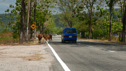 Minivan drive around cows, country road on tropical island, cows attention sign Footage