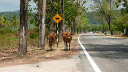 cattle and cows ahead road sign, tropical island rural road Footage