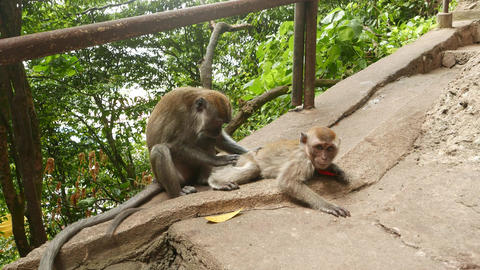 Macaque monkey mother and child, adult animal groom the small one Footage