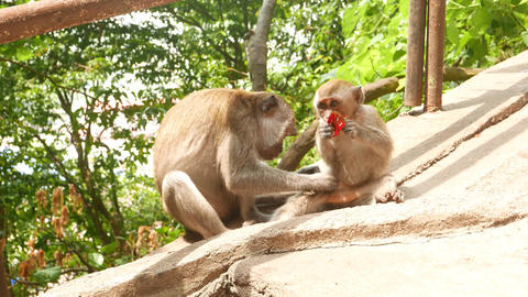 Monkey looking for parasites in the baby fur, grooming on sunlit floor Footage