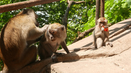 Male macaque search louse in female animal fur, monkey family Footage
