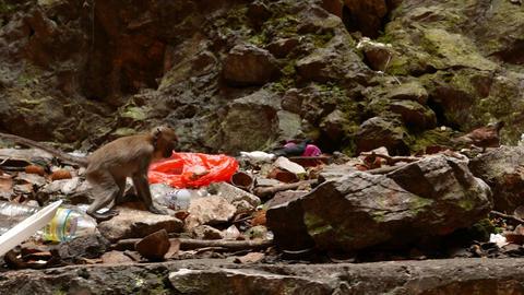 Little monkey walking through debris stony area, looking for food Footage