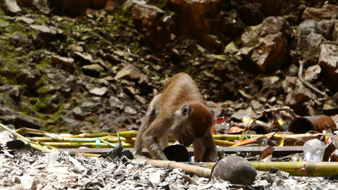 Long tail macaque eating stem dirty cave floor, run away Footage