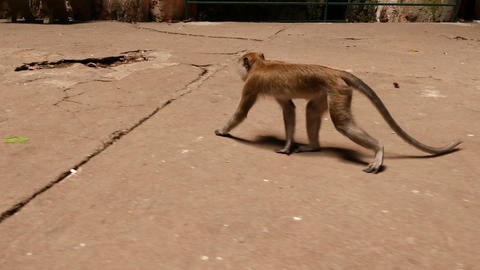 Male macaque monkey walking on concrete floor, tracking shot Footage