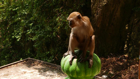 Macaque sitting on baluster, then hurry run away Footage