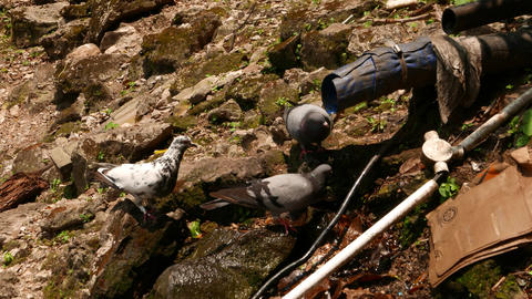 Three pigeons close up drinking water from tube rocky slope Footage
