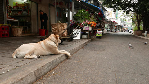 Dog lying down and looking at the pigeons on the road Footage