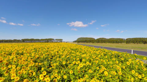 Passing the Sunflower Field when driving my car Live Action
