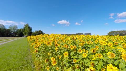 Walking Towards The Sunflower Field stock footage