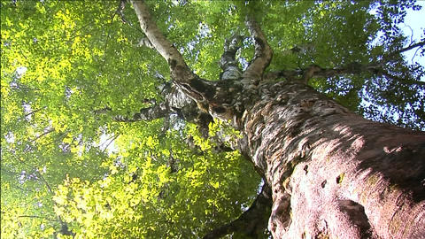 Big old beech tree Stock Video Footage