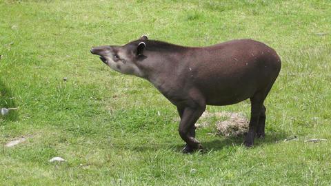 Tapir Browsing Mammal Similar to Pig Stock Video Footage