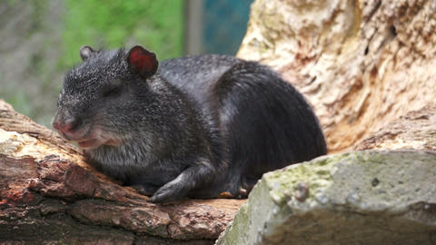 Common Agouti Rodent Species Lounging in the Sun Stock Video Footage
