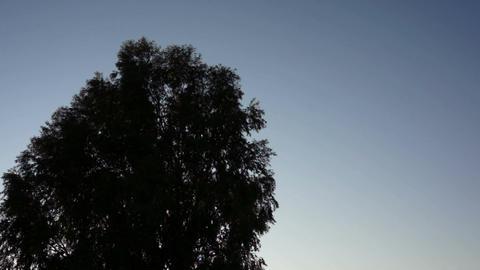Living Bird Tree Silhouette Stock Video Footage