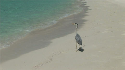 A bird standing on the beach Stock Video Footage