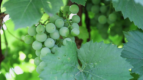 Bunch of green grapes are not ripe Stock Video Footage