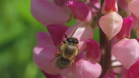 bee collects nectar of lupine Stock Video Footage