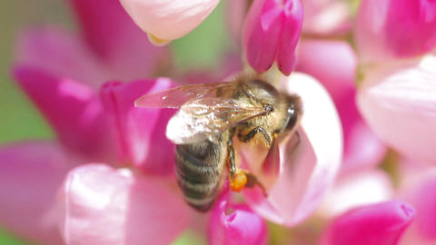 bee collects nectar from pink flowers of lupine close-up Stock Video Footage