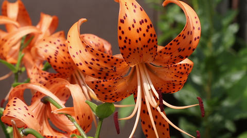 Blooming orange lily Stock Video Footage