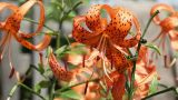 Blooming orange tiger lily Footage