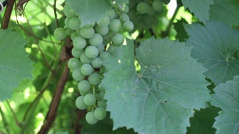 Unripe green grapes Stock Video Footage