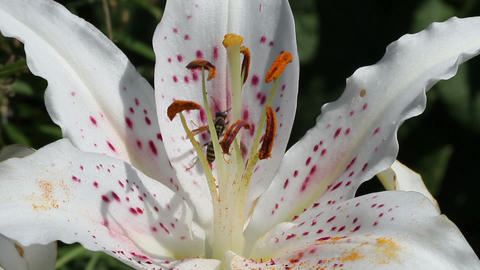 Wasp on a flower lily Stock Video Footage