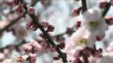 Japanese ume blossoms Footage