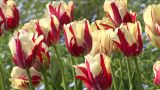 White-and-red stripes tulip Footage