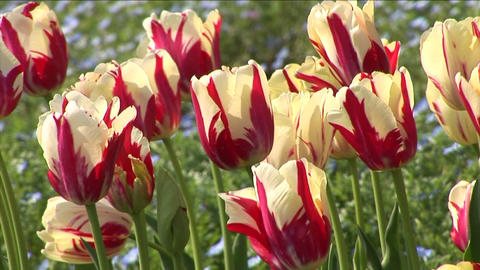 White-and-red stripes tulip Stock Video Footage