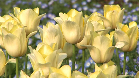 White Tulips Stock Video Footage