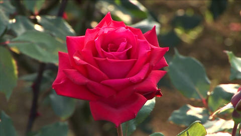 Red rose Stock Video Footage