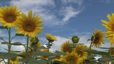 Sunflower Stock Video Footage