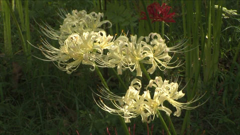 Cluster amaryllis Stock Video Footage