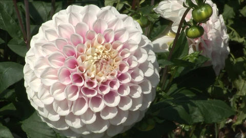 Pink Dahlia Stock Video Footage