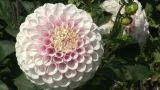 Pink Dahlia Footage