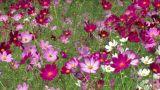 Cosmos flowers Footage